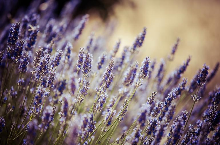 ourlocation_lavendar